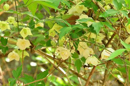 Shirobanahansyouzuru33841_2